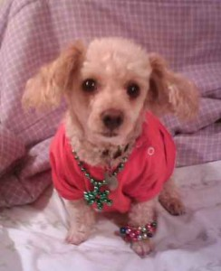 Toy poodle dressed in doll clothes