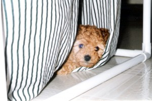 Toy poodle peeking out from laundry bags.
