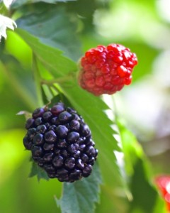 Distinctive berry is like a distinctive resume