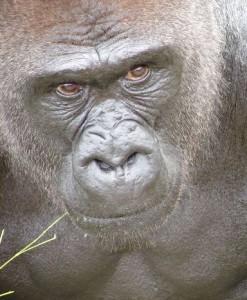 Gorilla, not Guerrilla